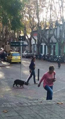 Carpinchos, roedores con mayor tamaño y peso del mundo, pasean como mascotas por las calles de Uruguay