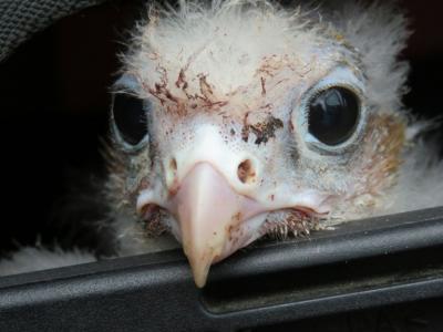 Un polluelo de halcón chileno sobrevive al tráfico de huevos y vuelve a su país