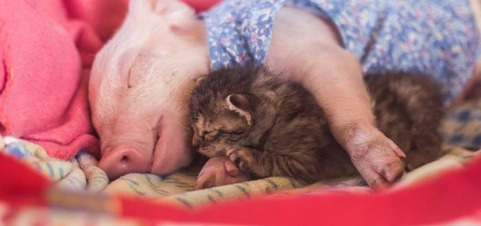 Una gatita abandonada encuentra nueva hermanita, una cerdita también rescatada