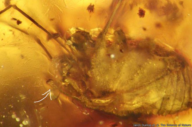 Hace cien millones de años que tiene su pene erecto