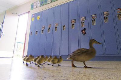 Vanessa, la pata que todos los años asombra a los estudiantes de una escuela en EE.UU.