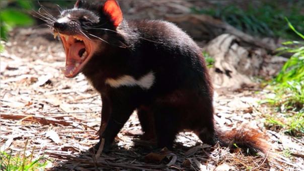 Los demonios de Tasmania evolucionan para resistir el cáncer que los aqueja