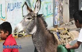Condenan a un burro por transportar hachís en Marruecos