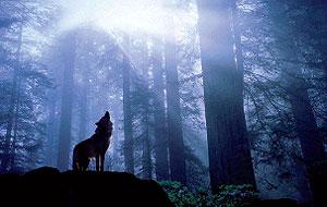 Los lobos de Galicia