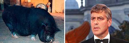 El actor George Clooney contrató a medium para conectarse con su cerdo muerto