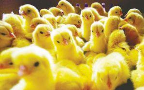 Uruguay: Denuncian matanza de pollos bebé para subir el precio