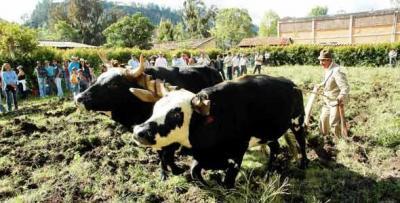 Duelo de arrieros y bueyes en Colombia