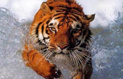 Escapan tres tigres de un circo de México