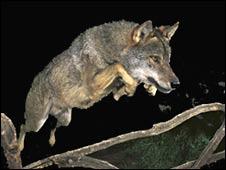 Papelón: el lobo ibérico nunca saltó y al fotógrafo le sacaron el premio