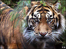 Descubren antepasados antiguos del tigre