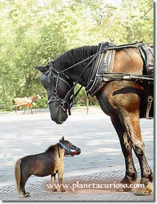 El caballo más pequeño del mundo