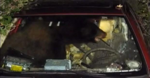 EEUU: Oso destruye automóvil por un sándwich de mantequilla de maní