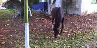 Trágica muerte de adolescente estrellado contra árbol al ser despedido por caballo en Jardines del Hipódromo