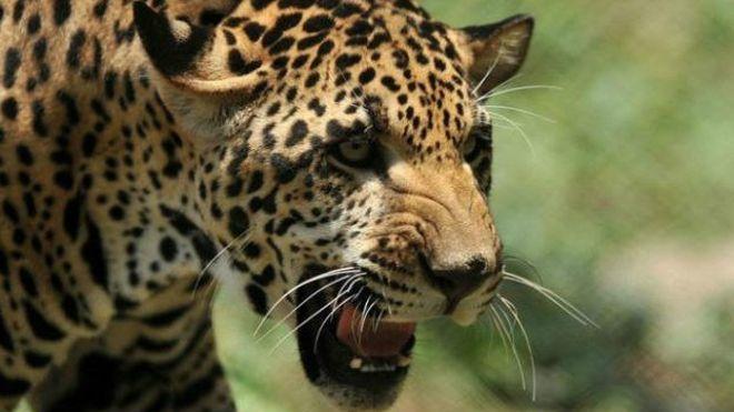 Un jaguar devuelto a zoo porque hembra lo seducía pero por ser gordo, perezoso y glotón no se apareaba