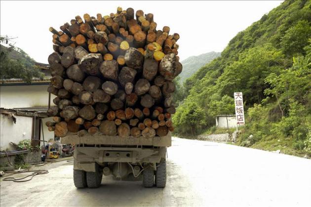 Greenpeace revela tala ilegal en China, patrimonio de la UNESCO, donde viven pandas