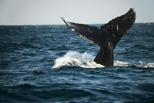 """""""Se les ven los huesos, enfermas, con parásitos: Cambio climático, azote para ballenas"""