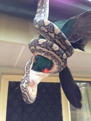 Australiano capta a una enorme pitón cuando se come un loro en la entrada de su casa