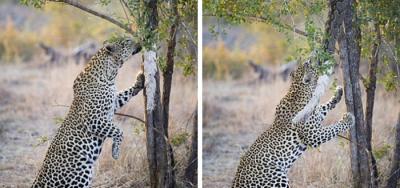 Vea cómo un leopardo hambriento lucha por sacar una pitón muerta enredada en un árbol