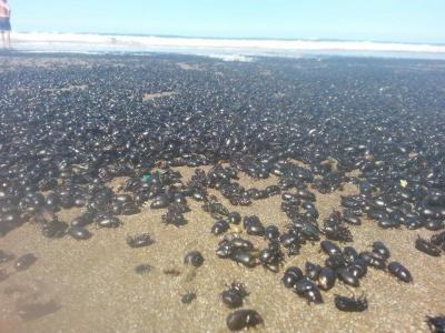 Plaga 'bíblica' en Argentina: miles de escarabajos invaden las playas de Buenos Aires