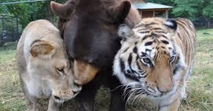 Un oso, un tigre de bengala y un león conviven amistosamente