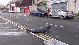 Foca sale del mar y cruza la calle para pedir comida en un restaurante