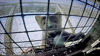 El encierro asfixiante en que viven los animales con los que se hacen los abrigos más caros del mundo