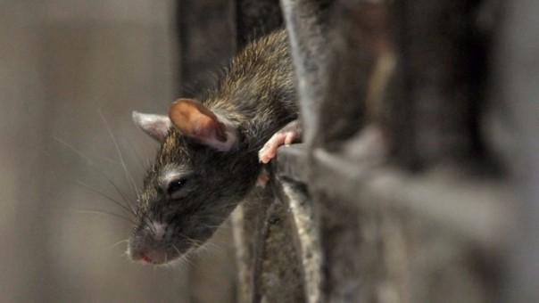 Se disparan las quejas por invasión de ratas en Nueva York