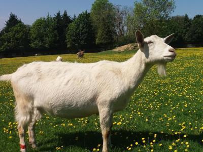 La portentosa capacidad comunicativa de las cabras