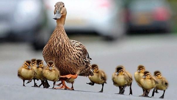 Los patitos recién nacidos son más listos que muchos animales, según estudio