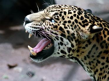 El leopardo persa regresa al Cáucaso ruso tras décadas de extinción