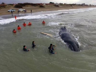 Logran rescatar a ballena en Argentina tras 24 horas encallada