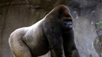 ¿Por qué la muerte del gorila Bantú impactó tanto en la sociedad mexicana?