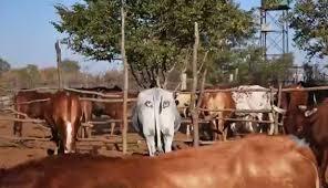 Un científico pinta ojos en las partes traseras de las vacas para prevenir ataques de leones
