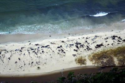 La costa chilena se transformó de nuevo en cementerio de ballenas