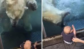 Escalofriante momento en que un oso polar intenta devorar a un niño