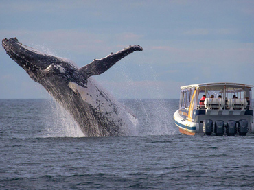 Torpes turistas se pierden espectacular salto de ballena