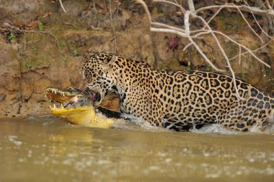 Épica batalla: Un jaguar, el felino más grande de América, ataca a un cocodrilo y se lo lleva