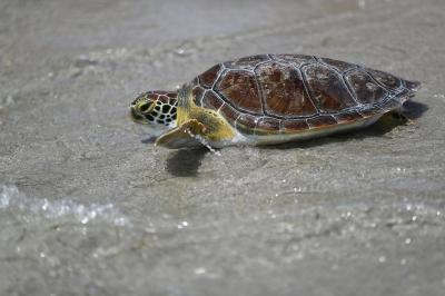 Los huevos de tortugas se venden como oro en el mercado negro de Florida, EEUU
