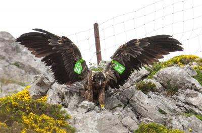 El quebrantahuesos vuelve a los Picos de Europa después de 80 años