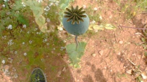 Expertos macedonios ven la flor del opio como solución a problemas económicos