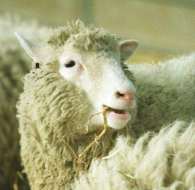 Clones de Dolly están envejeciendo con buena salud