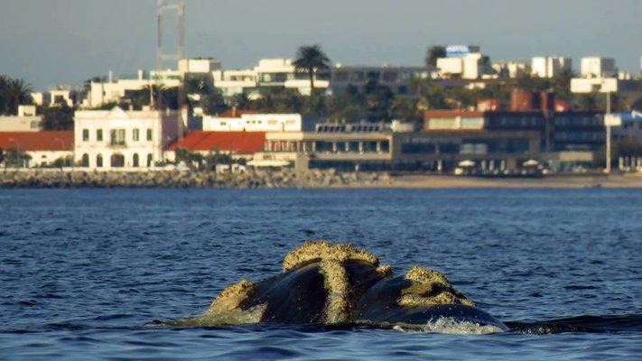 """Desde hoy a admirar a las ballenas """"uruguayas"""""""