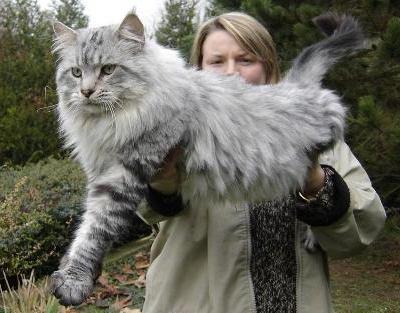 Maine Coon, la raza de gatos gigantes que asustan a los perros