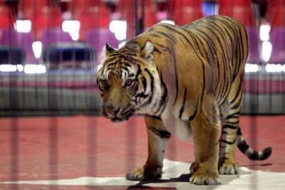 El 80% de los animales que fueron sacados del circo murieron en México