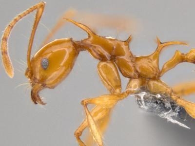 Bautizan a dos nuevas especies de hormigas con nombres de Juego de Tronos