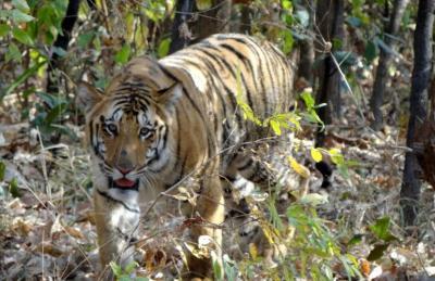La reducción del número de presas amenaza supervivencia de tigres y panteras