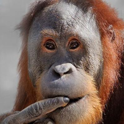 Orangután está dejando atónitos a los expertos al pronunciar las vocales como los humanos