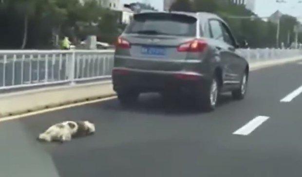 Conductor chino arrastró a su perro hasta la muerte y estuvieron a punto de lincharlo