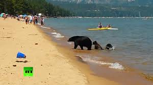 La familia de osos que se bañó en un lago lleno de gente en California