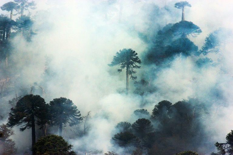 Araucarias chilenas, los bosques más antiguos del planeta en peligro
